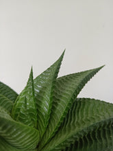 Load image into Gallery viewer, Haworthia limifolia