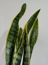 Load image into Gallery viewer, Sansevieria trifasciata 'Laurentii' - Snake Plant - PICK UP ONLY