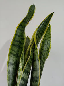 Sansevieria trifasciata 'Laurentii' - Snake Plant - PICK UP ONLY