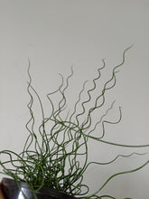 Load image into Gallery viewer, Juncus decipiens 'Curly Wurly'
