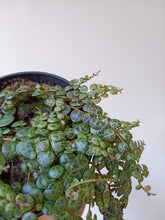 Load image into Gallery viewer, Peperomia rotundifolia prostrata - String of Turtles - PICK UP ONLY