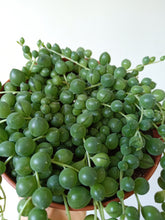 Load image into Gallery viewer, Senecio rowleyanus - String of Pearls