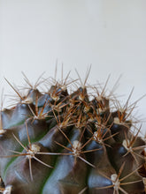 Load image into Gallery viewer, Gymnocalycium anisitsii