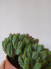 Load image into Gallery viewer, Euphorbia submammillaris