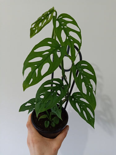 Monstera adansonii - Swiss Cheese Plant