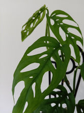 Load image into Gallery viewer, Monstera adansonii - Swiss Cheese Plant