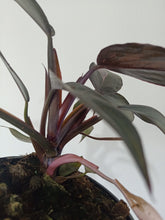 Load image into Gallery viewer, Philodendron 'Pink Princess'