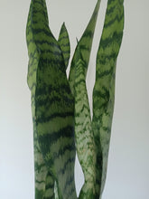 Load image into Gallery viewer, Sansevieria trifasciata - Snake Plant - PICK UP ONLY