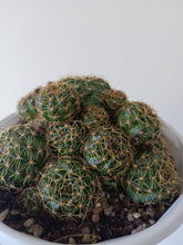 Load image into Gallery viewer, Echinopsis ancistrophora subsp. arachnacantha