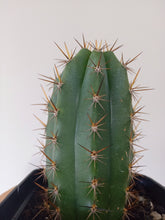 Load image into Gallery viewer, Echinopsis peruviana