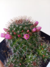 Load image into Gallery viewer, Mammillaria zeilmanniana