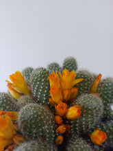 Load image into Gallery viewer, Rebutia pulvinosa