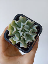 Load image into Gallery viewer, Echeveria Topsy Turvy