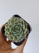 Load image into Gallery viewer, Echeveria elegans