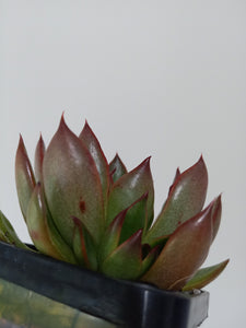 Echeveria Benimusume