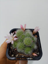 Load image into Gallery viewer, Rebutia pulvinosa subsp. albiflora