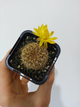 Load image into Gallery viewer, Rebutia candiae