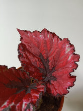 Load image into Gallery viewer, Begonia 'Kotobuki'