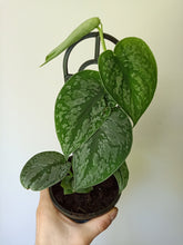 Load image into Gallery viewer, Scindapsus pictus 'Exotica' - Satin Pothos with damaged tip!