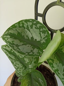 Scindapsus pictus 'Exotica' - Satin Pothos with damaged tip!