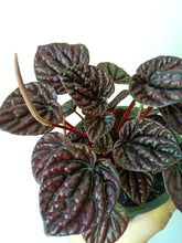 Load image into Gallery viewer, Peperomia red luna