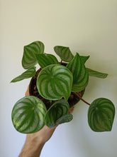 Load image into Gallery viewer, Peperomia argyreia