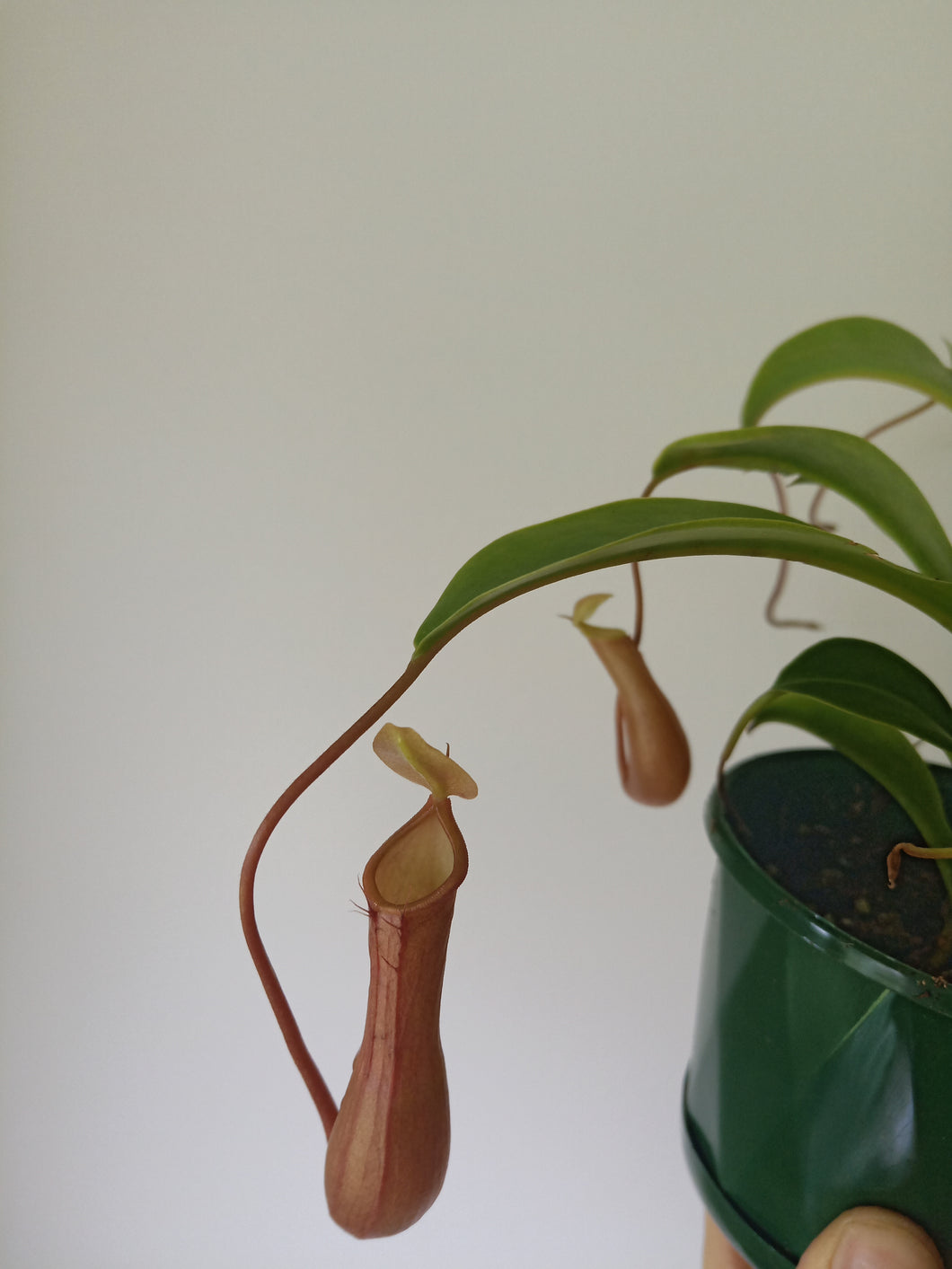 Nepenthes sp. - Pitcher Plant