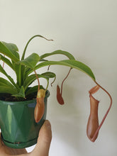 Load image into Gallery viewer, Nepenthes sp. - Pitcher Plant