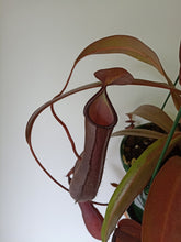 Load image into Gallery viewer, Nepenthes sp.