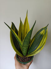 Load image into Gallery viewer, Sansevieria trifasciata 'Golden Flame'