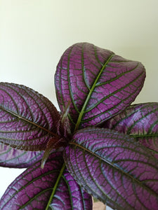 Strobilanthes dyeriana - Persian Shield