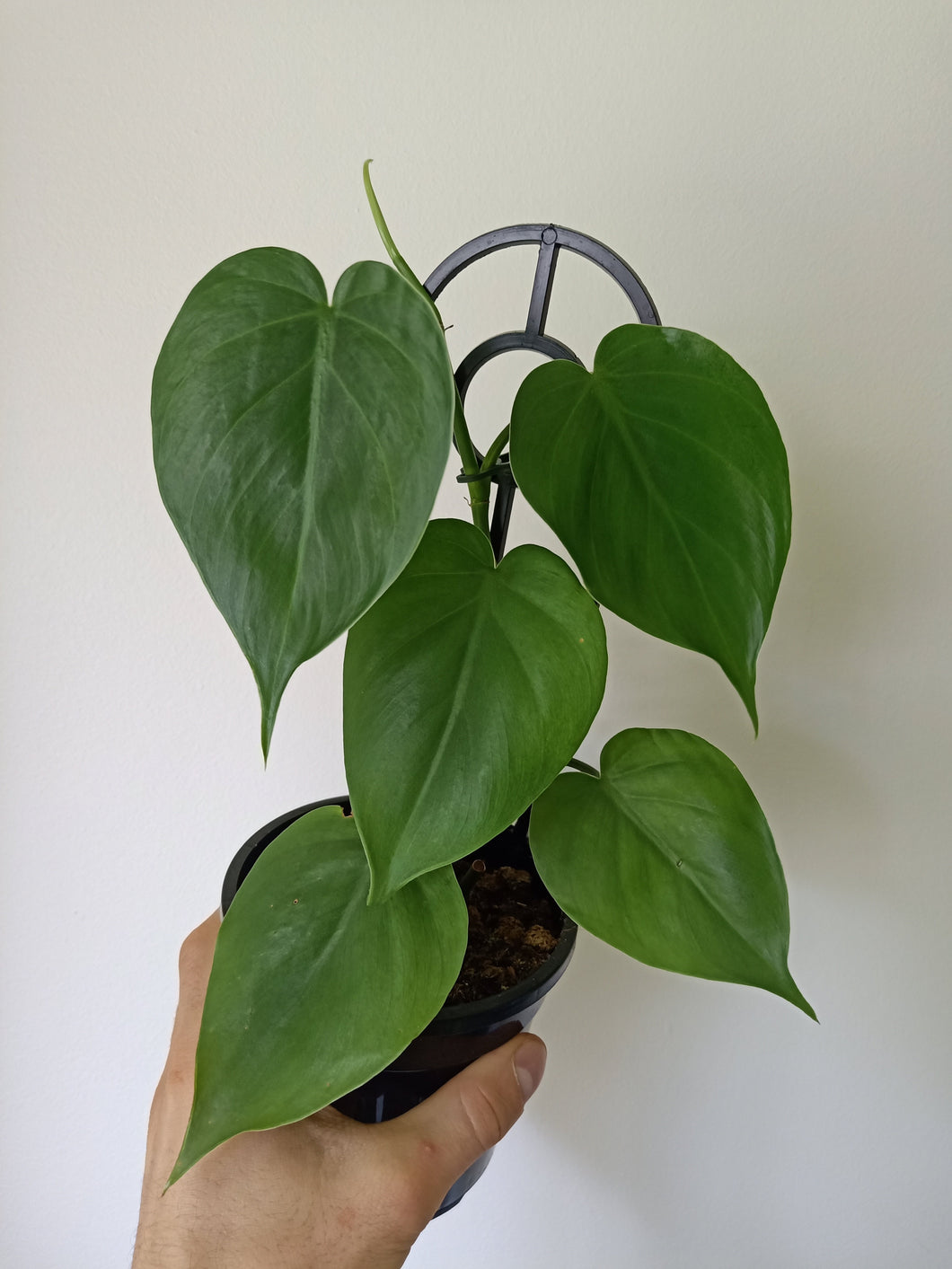 Philodendron hederaceum var. oxycardium - Heart Leaf Philodendron