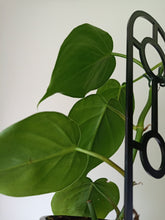 Load image into Gallery viewer, Philodendron hederaceum var. oxycardium - Heart Leaf Philodendron