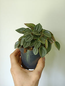 Peperomia 'Napoli Nights'