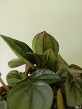 Load image into Gallery viewer, Peperomia 'Napoli Nights'