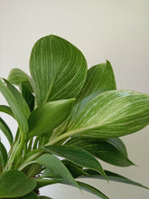 Load image into Gallery viewer, Philodendron 'Birkin'