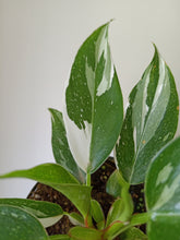 Load image into Gallery viewer, Philodendron 'White Princess'