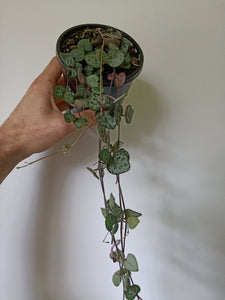 Ceropegia woodii - Chain Of Hearts