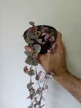 Load image into Gallery viewer, Ceropegia woodii variegated - Chain Of Hearts