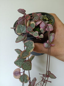 Ceropegia woodii variegated - Chain Of Hearts