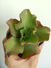 Load image into Gallery viewer, Echeveria 'Tutti Frutti'