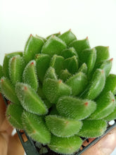 Load image into Gallery viewer, Echeveria setosa green