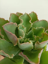 Load image into Gallery viewer, Echeveria paradisian surprise