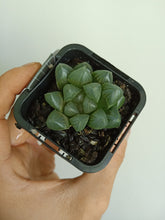 Load image into Gallery viewer, Haworthia cooperi cv. No.60