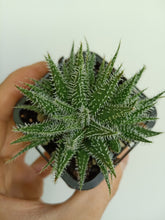 Load image into Gallery viewer, Aloe haworthioides