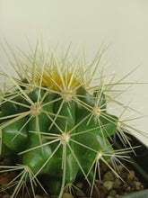Load image into Gallery viewer, Echinopsis grusoii - Golden Barrel Cactus