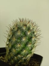 Load image into Gallery viewer, Mammillaria microhelia
