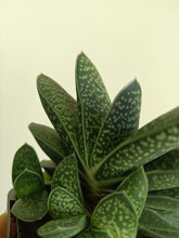 Load image into Gallery viewer, Gasteria sp.