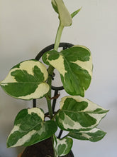 Load image into Gallery viewer, Epipremnum aureum 'Snow Queen'