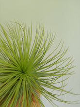 Load image into Gallery viewer, Tillandsia andreana